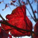 透かし紅葉